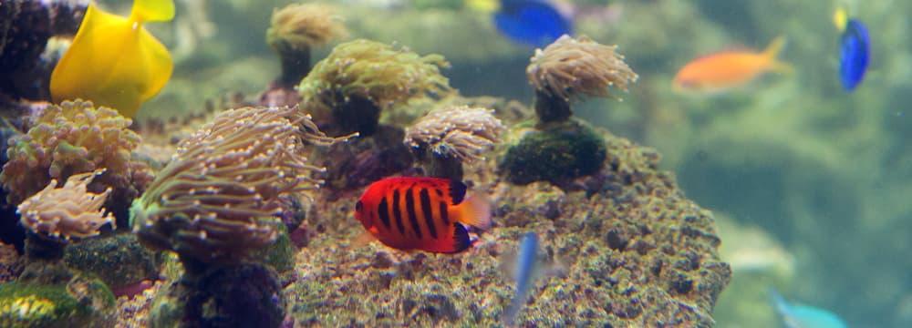 Flammen-Zwergkaiserfisch im Zoo Zürich