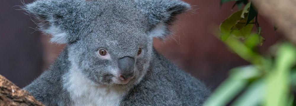 Koalaweibchen Pippa im Zoo Zürich.