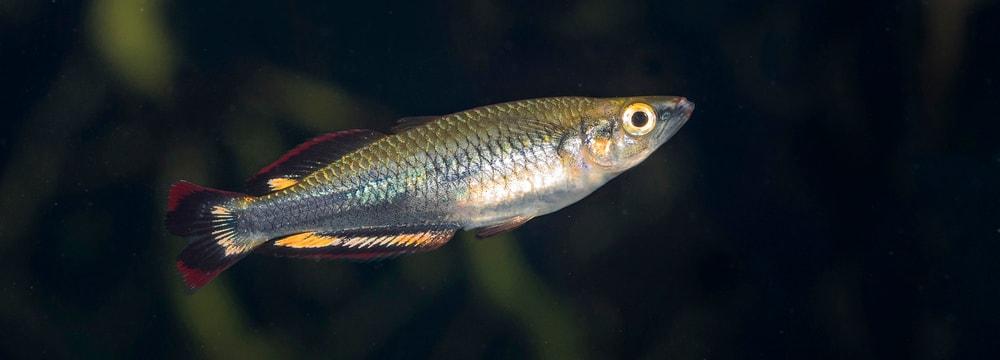 Rotschwanz-Ährenfisch im Zoo Zürich