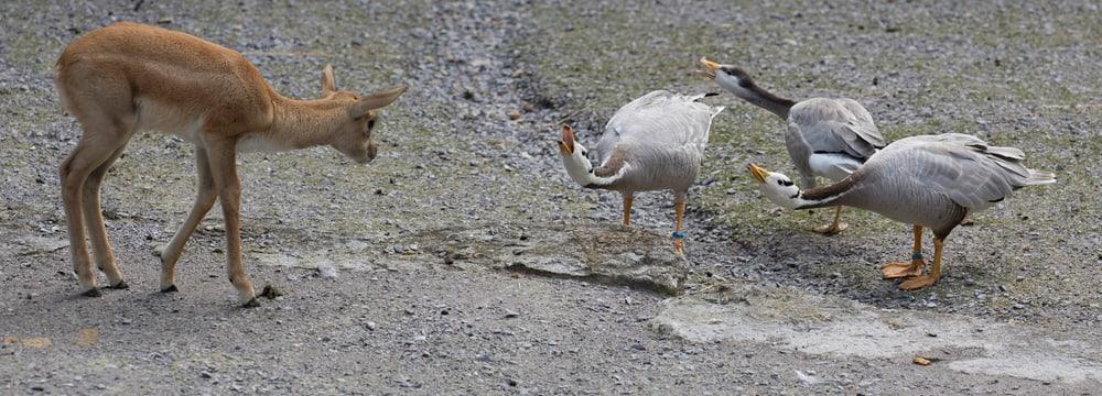 Hirschziegenantilopen und Streifengänse im Zoo Zürich.