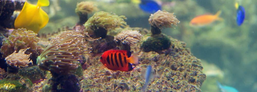 Feuer-Zwergkaiserfisch im Aquarium des Zoo Zürich.