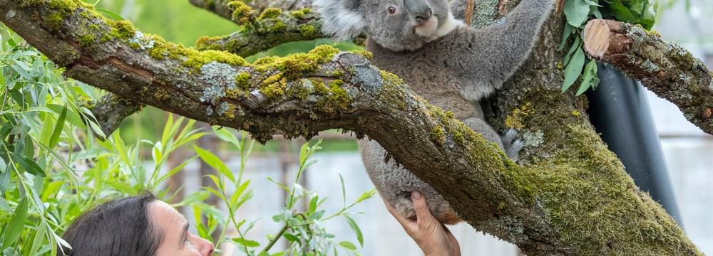 Koala im Zoo Zürich.