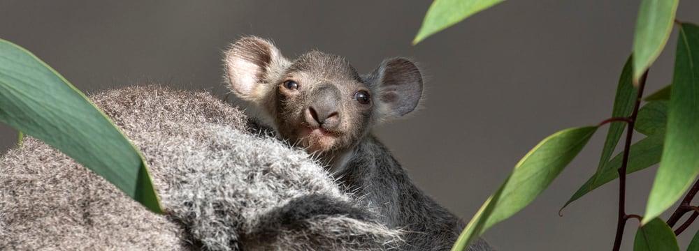 Koala Joey von Pippa