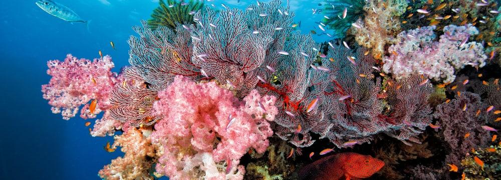 Korallenriff Fiji