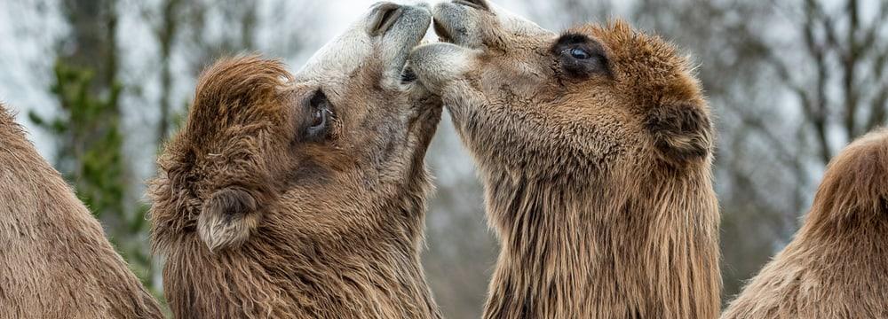 Trampeltiere in der Mongolischen Steppe im Zoo Zürich