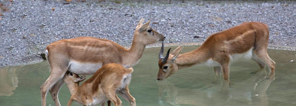 Hirschziegenantilopen im Zoo Zürich.