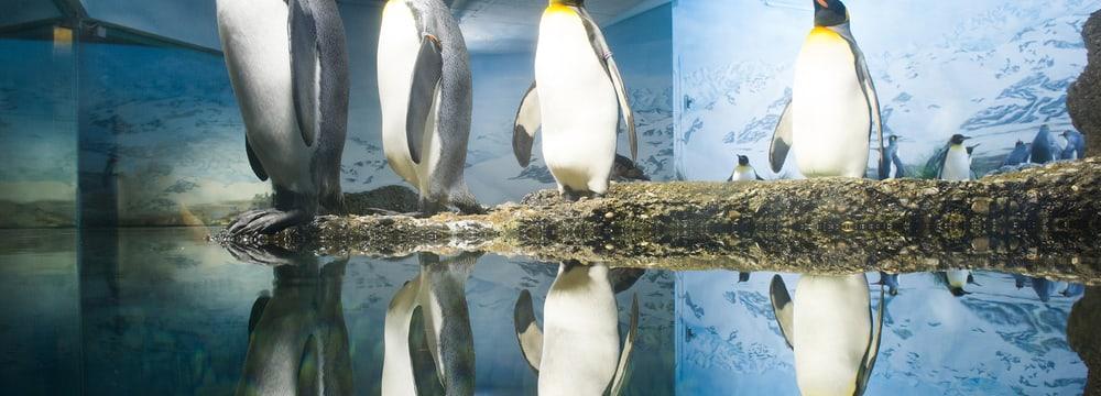 Königspinguine im Zoo Zürich.