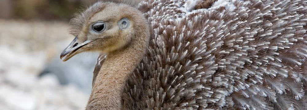 Darwin-Nandu im Zoo Zürich