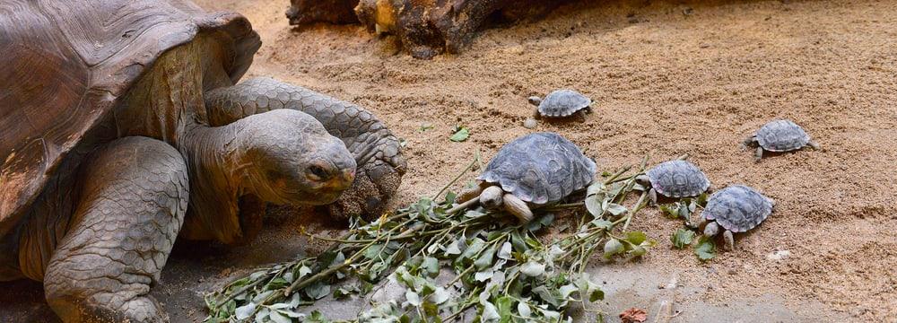 Galapagos-Riesenschildkröten im Zoo Zürich.