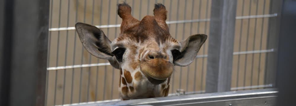 Giraffe im Hintergrund der Lewa Savanne des Zoo Zürich