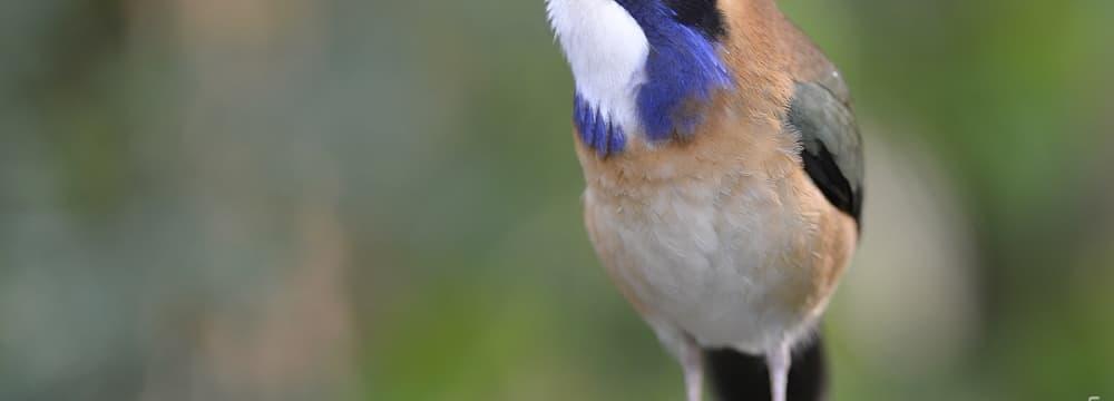 Blaukopf-Erdracke im Masoala Regenwald