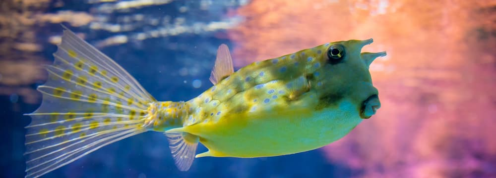 Gehörnter Kuhkofferfisch im Aquarium des Zoo Zürich.