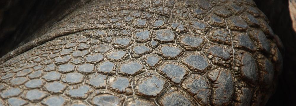 Bild Fernandina Schildkröte