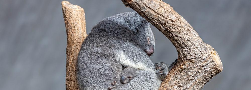 Koala Pippa mit ihrem Jungtier Uki im Zoo Zürich.