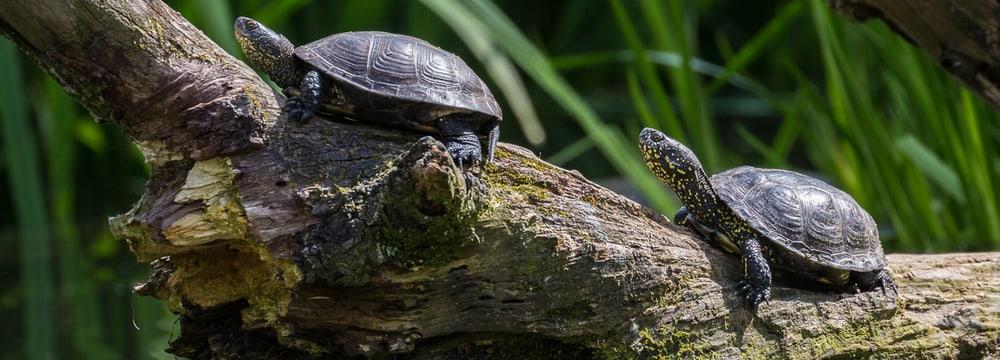 Europäische Sumpfschildkröten im Zoo Zürich.