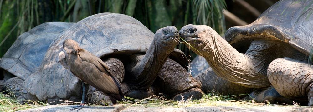 Aldabra-Riesenschildkröte im Zoo Zürich
