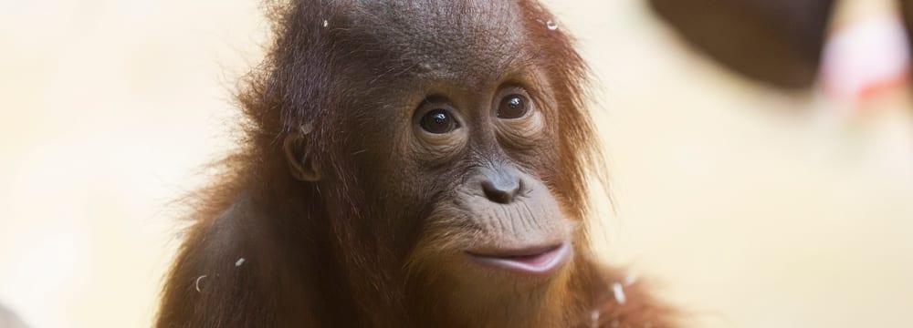 Sumatranischer Orang-Utan im Zoo Zürich