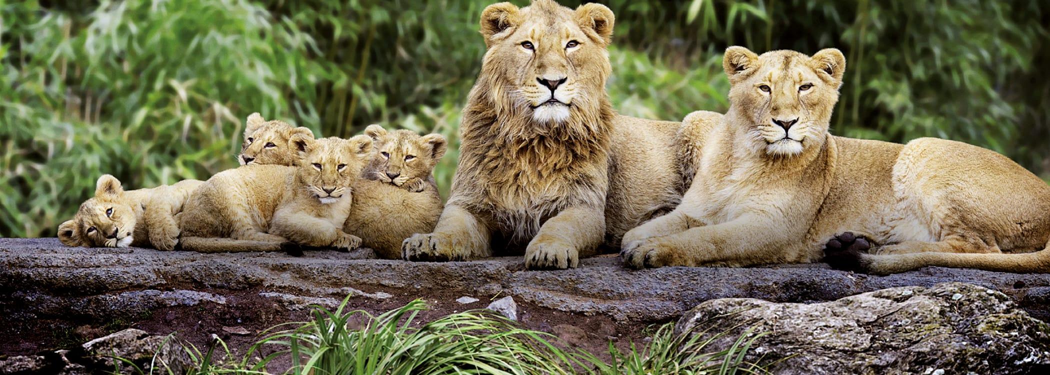 Indische Löwen im Zoo Zürich.