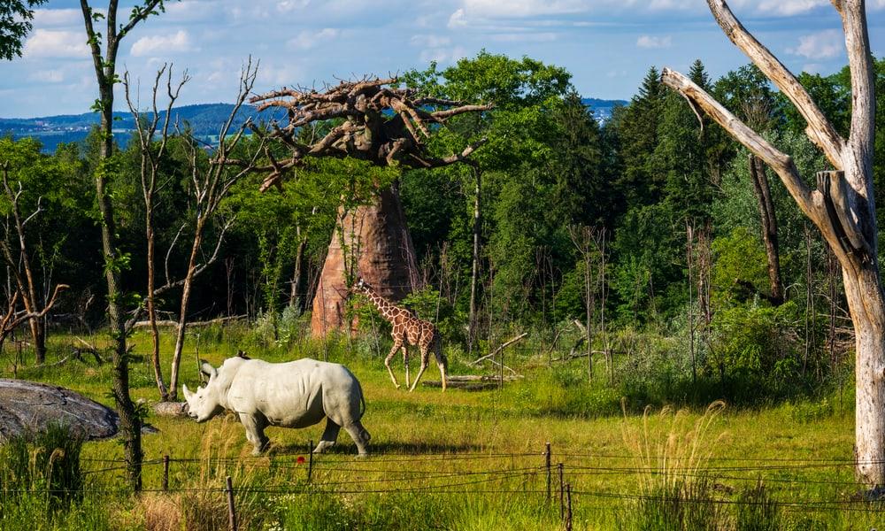 Lewa Breitmaulnashorn Netzgiraffe Zoo Zürich