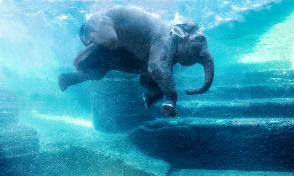 Schwimmender Elefant im Zoo Zürich.