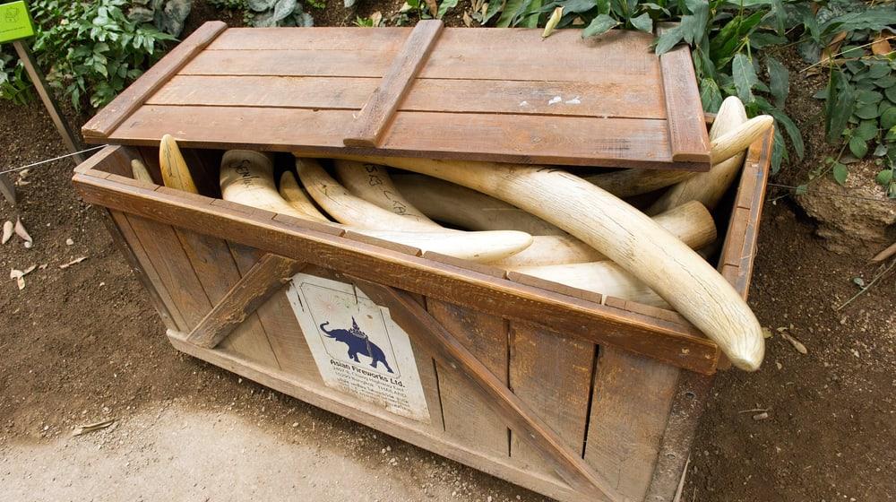 Elfenbein in der Naturschutzausstellung im Kaeng Krachan Elefantenpark.