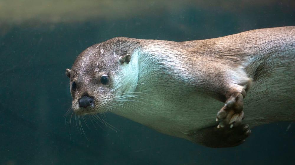 Europäischer Fischotter im Zoo Zürich.