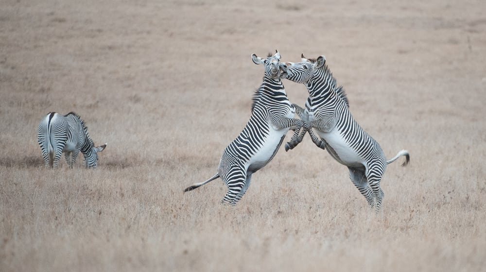 Grevyzebras im Lewa Wildlife Conservancy in Kenia.
