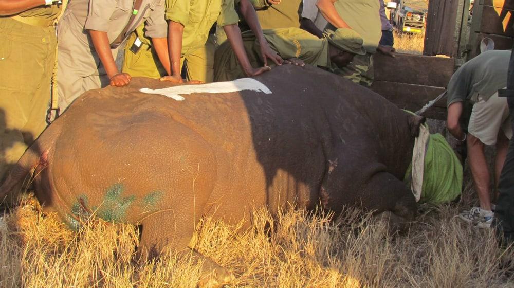 Nashorn-Translokation in Kenia.
