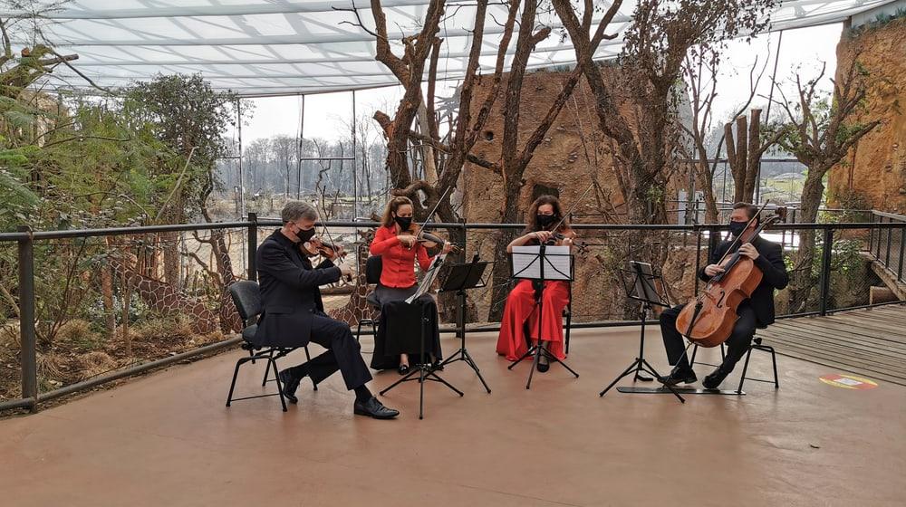 Das Streichquartett des Zürcher Kammerorchesters spielt in der Lewa Savanne im Zoo Zürich.
