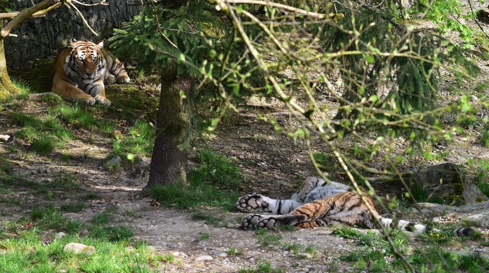 Amurtiger Sayan und Elena im Zoo Zürich.