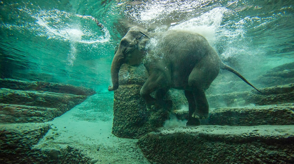 Asiatischer Elefant Farha beim Schwimmen im Kaeng Krachan Elefantenpark.