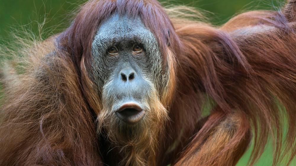 Sumatra-Orang-Utan Oceh im Zoo Zürich