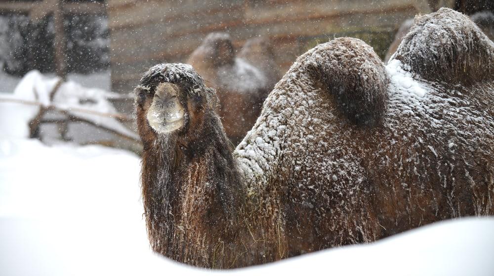 Hauskamel im Schnee im Zoo Zürich
