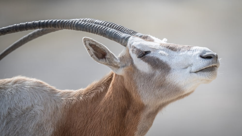 Säbelantilope (Oryx dammah)
