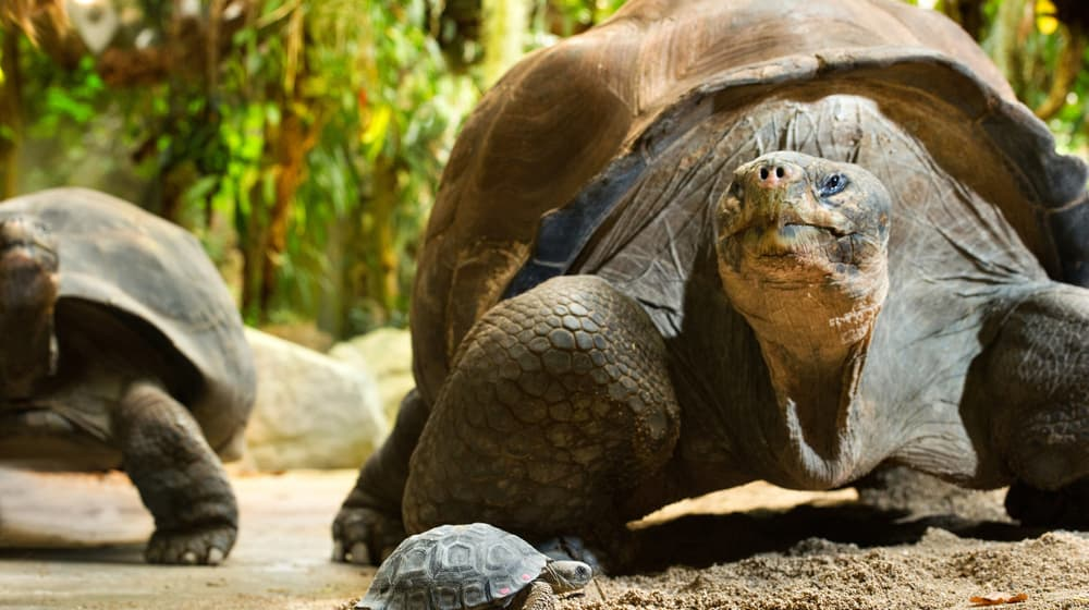 Galapagos Riesenschildkröte im Zoo Zürich