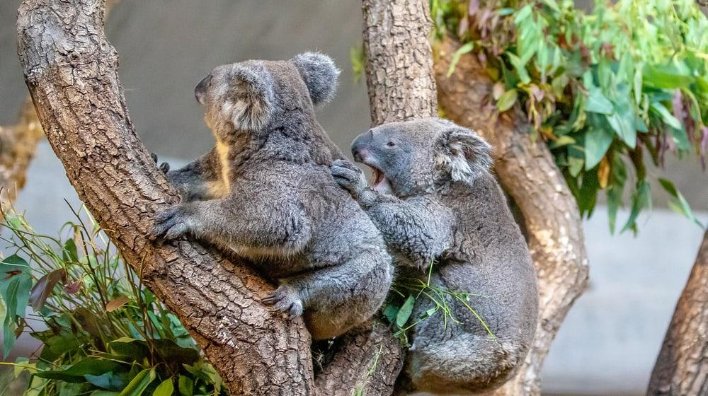 Koala Maisy