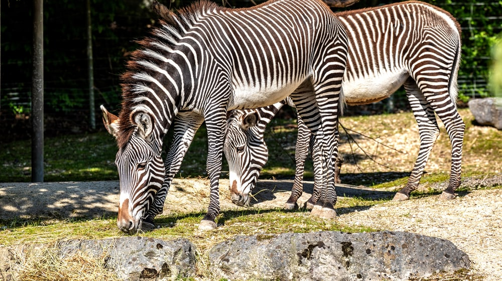 Grevyzebras Tana und Riha im Zoo Zürich.