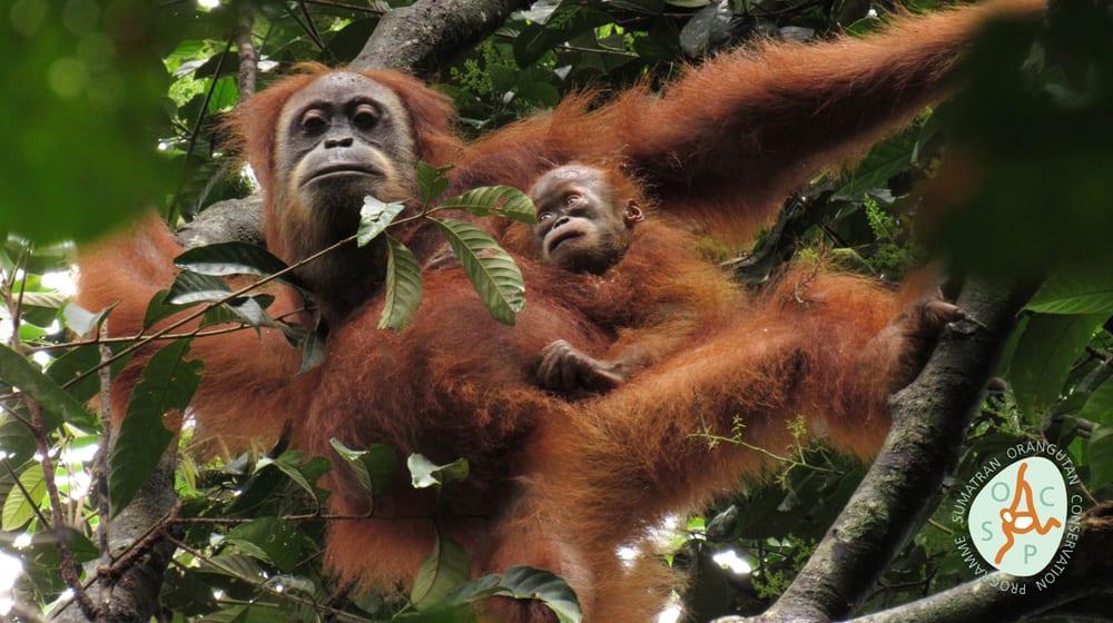 Die wiederausgewilderte Orang-Utan-Dame «Marconi» und ihr Sohn «Masen» in Jantho, Sumatra.