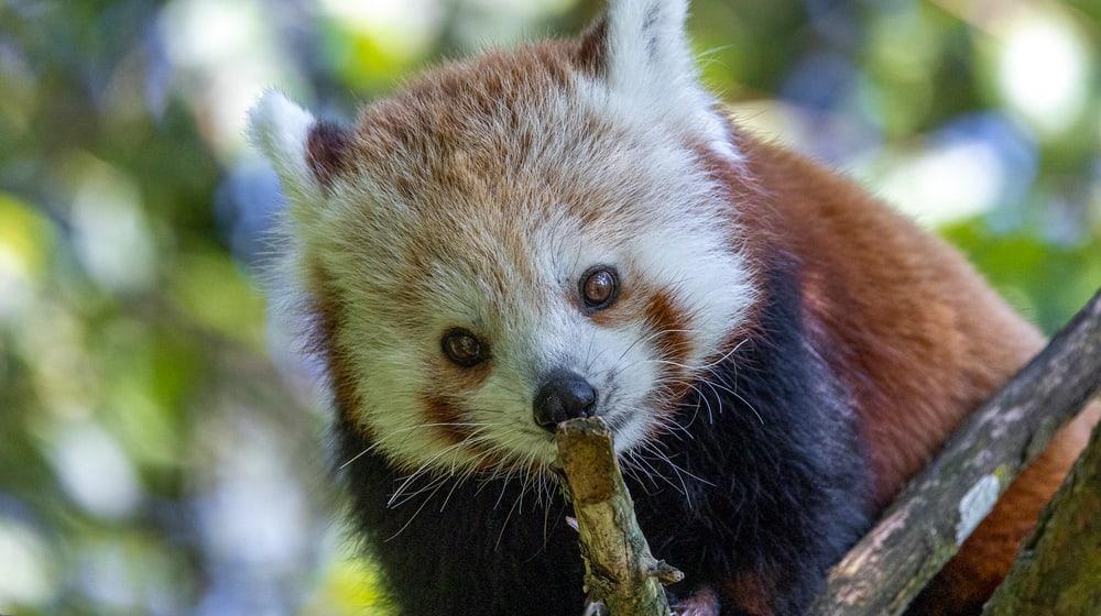 Kleiner Panda Siddhi zum ersten Mal in der Anlage.