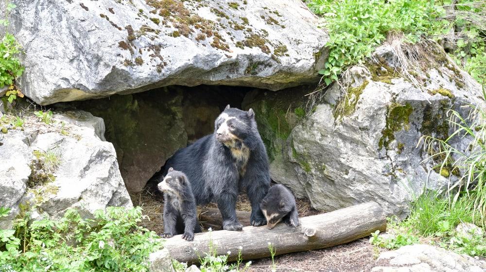 Brillenbären im Zoo Zürich.