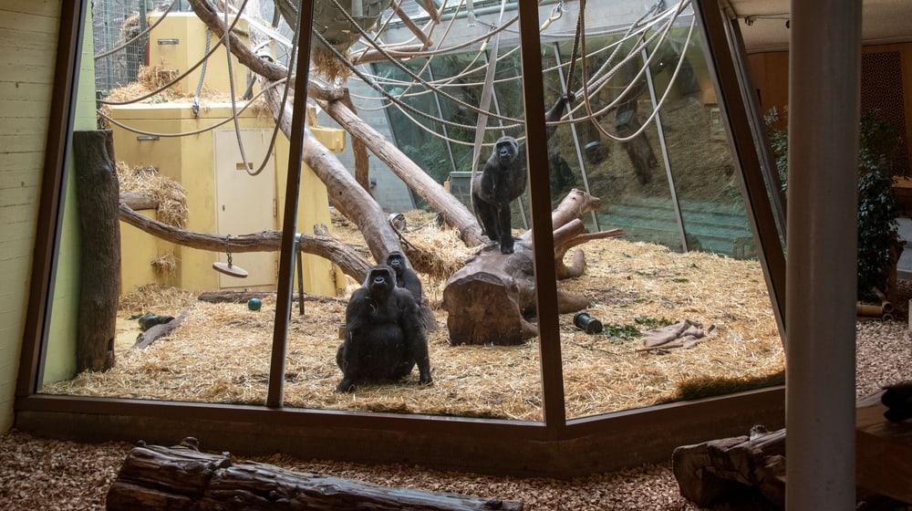 Westliche Flachlandgorillas im Zoo Zürich.