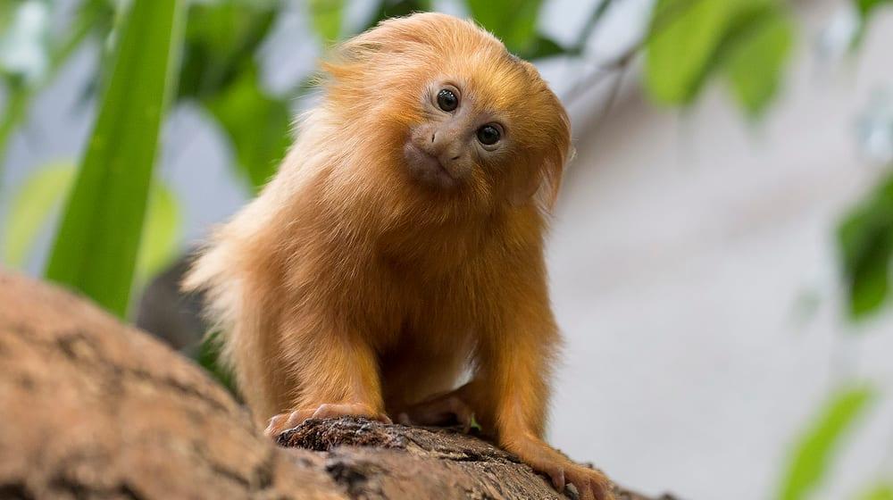 Goldgelbes Löwenäffchen im Zoo Zürich.