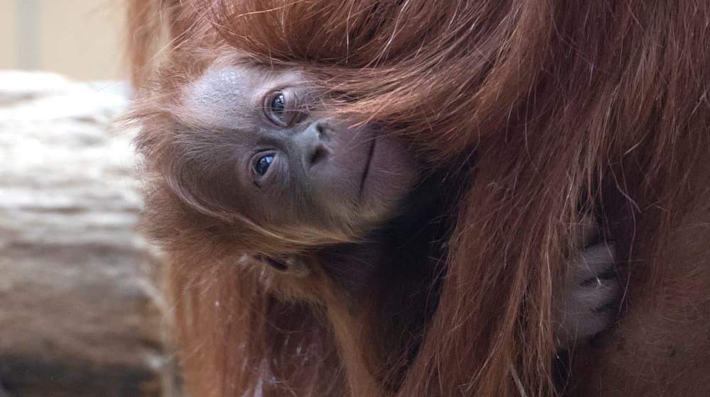 Junger Sumatra-Orang-Utan Utu im Zoo Zürich.