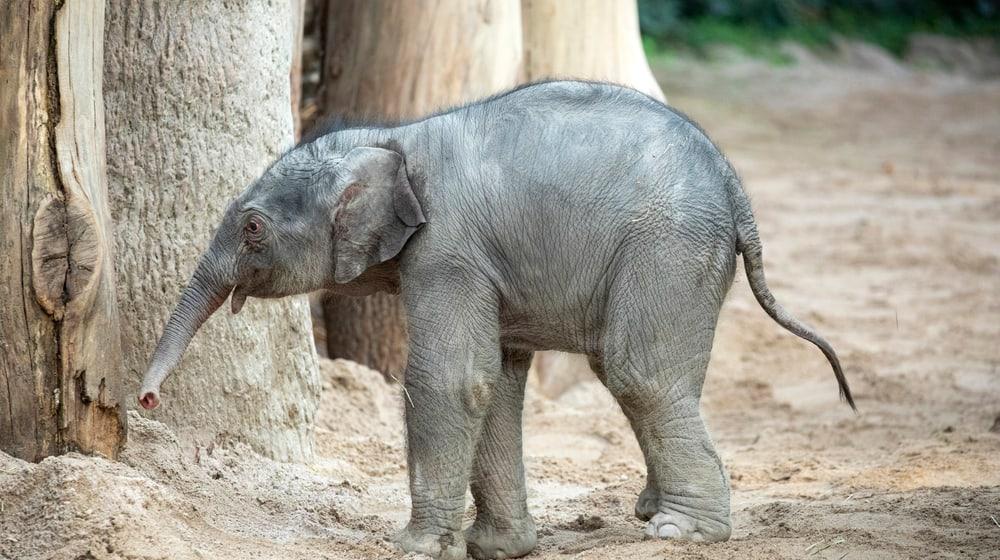 Umesh Elefant Kaeng Krachan Zoo Zürich