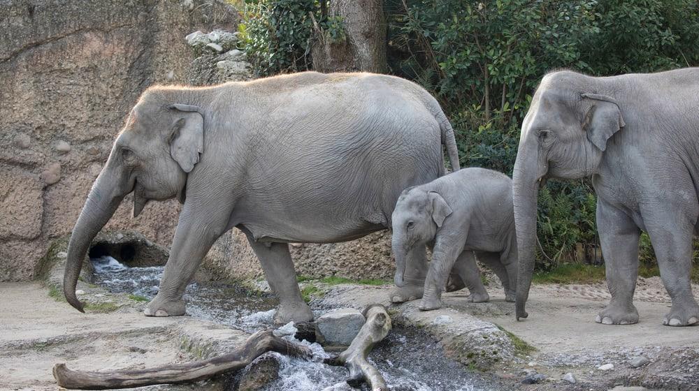 Asiatische Elefanten Ceyla-Himali, Ruwani und Farha im Kaeng Krachan Elefantenpark im Zoo Zürich.