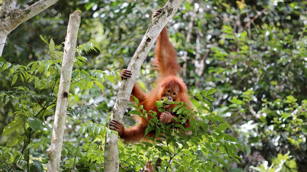Sumatra Orang-Utan Ganteng in der Auffangstation von PanEco.