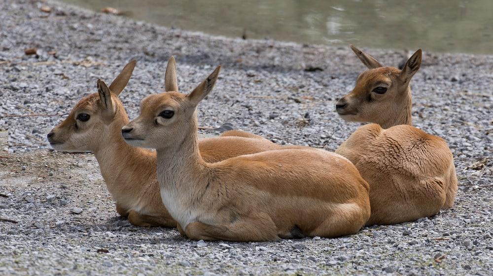 Junge Hirschziegenantilopen im Zoo Zürich.