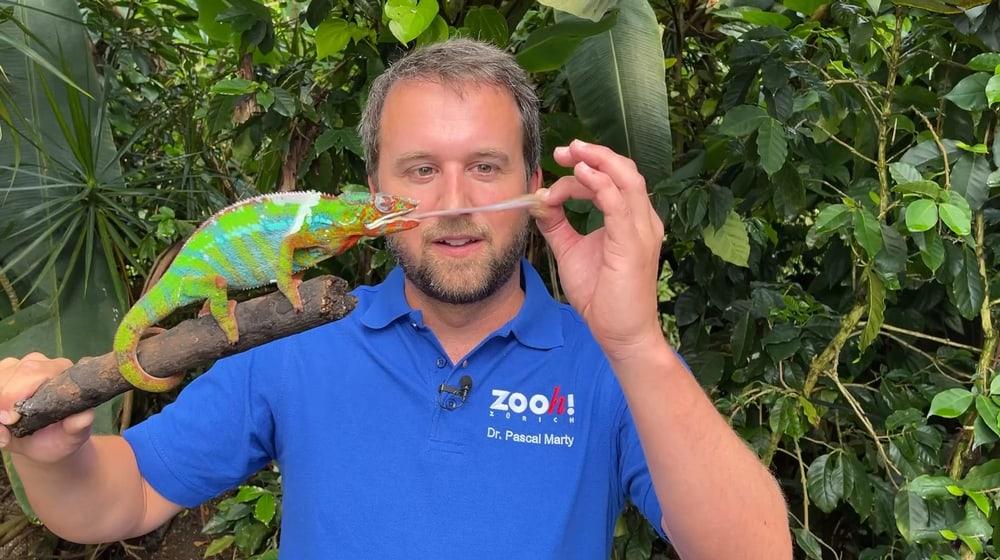Zookurator Pascal Marty mit einem Pantherchamäleon im Zoo Zürich.