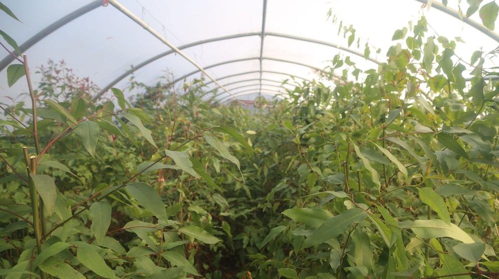 Eukalyptusplantage