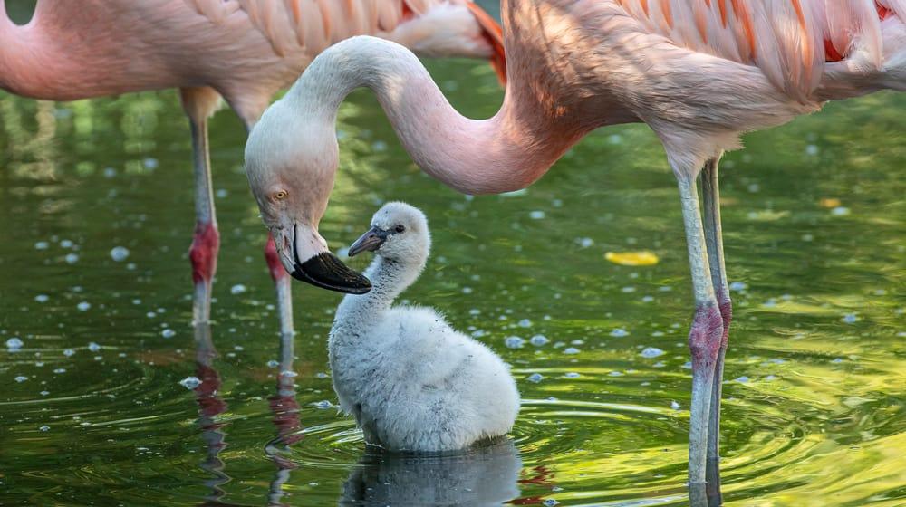Chile-Flamingo mit Jungtier im Pantanal des Zoo Zürich.